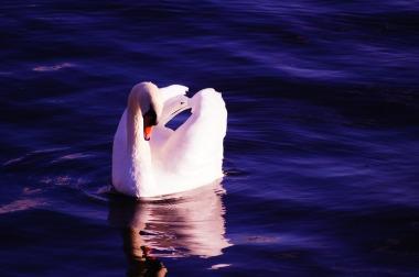 swan-1002943_1920